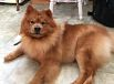 Chiots chowchow a vendre